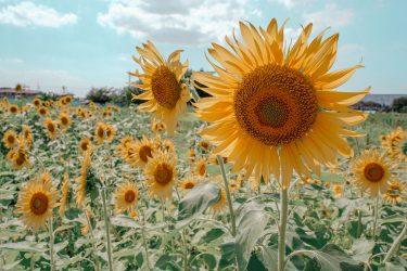 ひまわり畑で可愛い写真を撮ろう!『蓮田ひまわり畑(あなたの番ですのロケ地!)』に行ってきたよ。